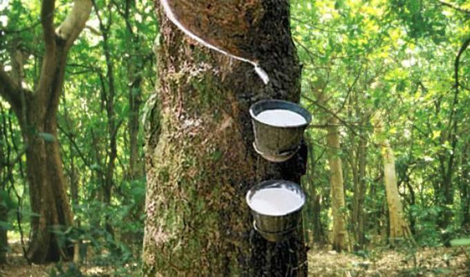 Cao su - cây đa mục tiêu đang phát triển bền vững