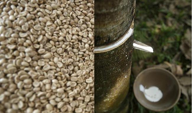 Giá cà phê hôm nay 19/10: Tiếp tục tăng giảm trái chiều, giá cao su ổn định