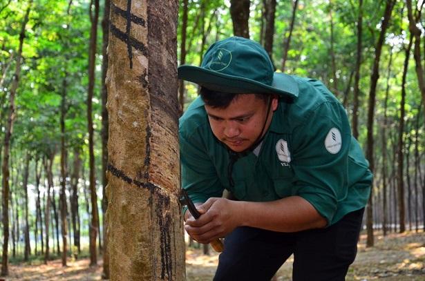 Cao su Việt Lào sản xuất kinh doanh 9 tháng khả quan
