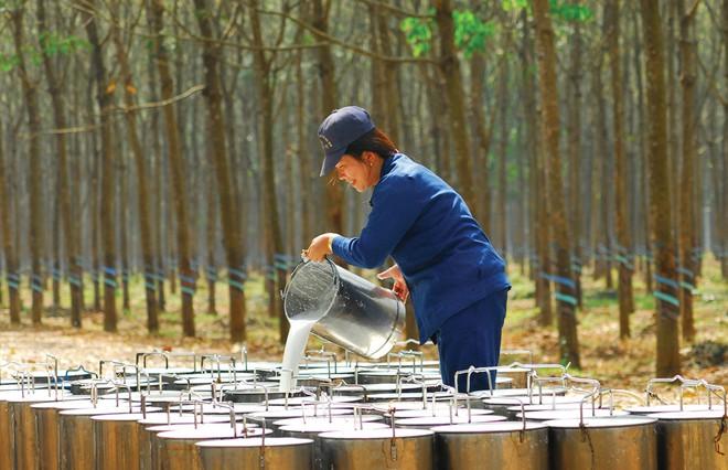 Cao su Tây Ninh (TRC) chuẩn bị trả cổ tức bằng tiền đợt 2/2020 tỷ lệ 9%