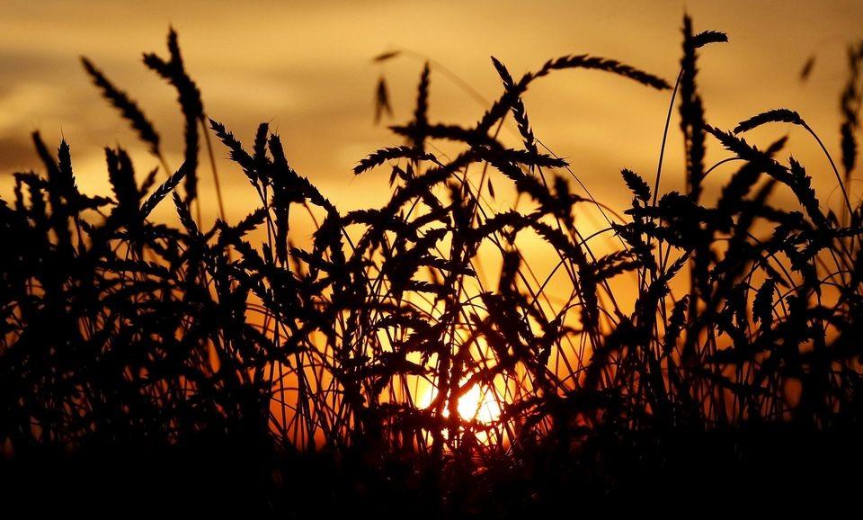 FAO: Giá lương thực toàn cầu đạt mức cao nhất của 10 năm
