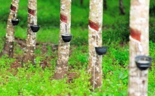 Malaysia, Thái Lan và Indonesia đồng thuận hạn chế xuất khẩu cao su