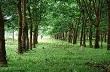Công ty CPCS Điện Biên: Trồng mới, trồng dặm hơn 870 ha cao su