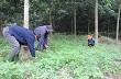 Hiệp Đức – Quảng Nam: Động lực mới từ cây cao su