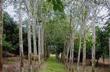 Tiếp tục thí điểm trồng 2.000 ha cao su tại Lào Cai