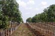 Bình Dương: Nhức nhối nạn trộm cắp mủ cao su