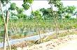 Trảng Bàng: Diện tích cây cao su ngày càng mở rộng