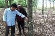 Giải pháp giữ ổn định diện tích cao su ở Phú Yên