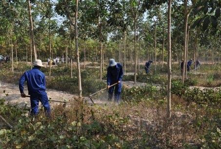 Cao su Chư Sê – Kampong Thom: Nhiều giải pháp chăm sóc vườn cây