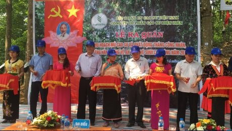 Cao su Điện Biên ra quân khai thác