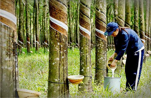 TT cao su châu Á ngày 22/8/2019: Giá tại Tokyo giảm do lo ngại dư cung