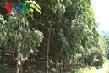 Điện Biên – những tín hiệu vui từ cây cao su