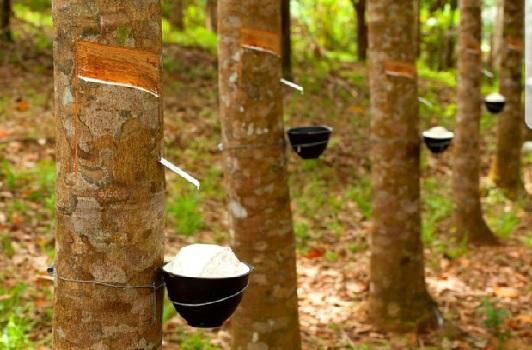 Thái Lan, Indonesia và Malaysia thống nhất giảm xuất khẩu cao su