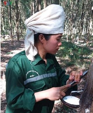 Tín hiệu vui từ cây cao su trên vùng đất Sơn La