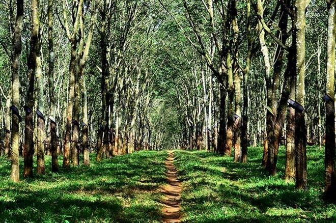 Trồng rừng thâm canh gỗ lớn đối với keo tai tượng