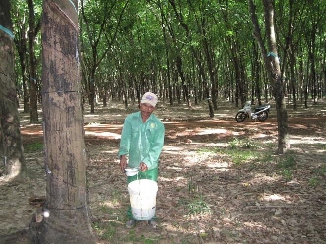 VRG thúc đẩy trồng rừng cao su bền vững