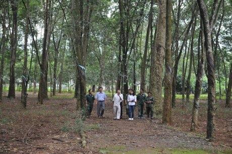 Thăm vườn cây cao su 111 tuổi