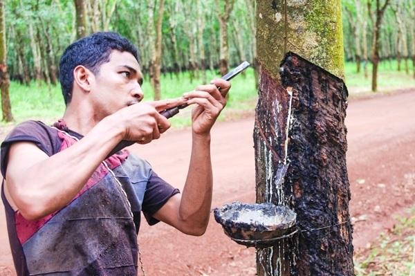 Xuất khẩu cao su khô của Campuchia tăng 33%