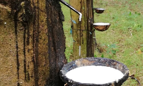 Giá cao su xuất khẩu giảm mạnh
